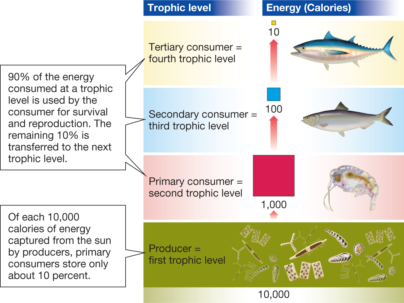 Biology now a diagram showing the levels of the energy pyramid diagram shows the trophic levels fandeluxe Images