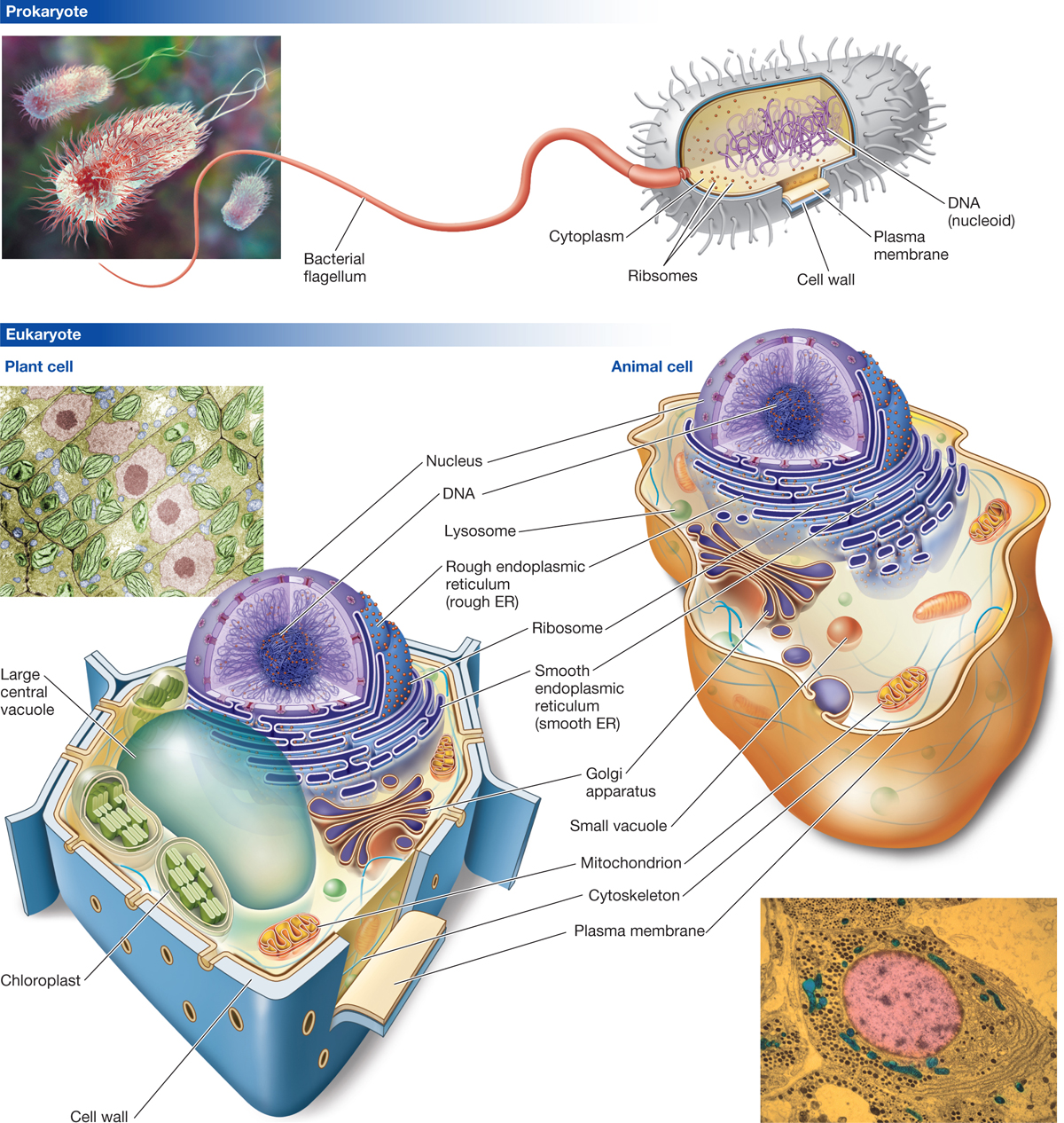 cell structures prokaryotic eukaryotic cells essay You, my friend, are made up of cells lots and lots of them some of them are eukaryotic (human), but many more of them are prokaryotic, thanks to the friendly bacteria of your gut, skin, and other body systems jump in to learn more about prokaryotic and eukaryotic cells and the complex and beautiful structures inside of them.