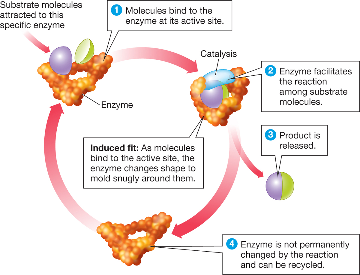 Biology now a diagram titled enzymes are molecular matchmakers the diagram shows a cycle pooptronica Images