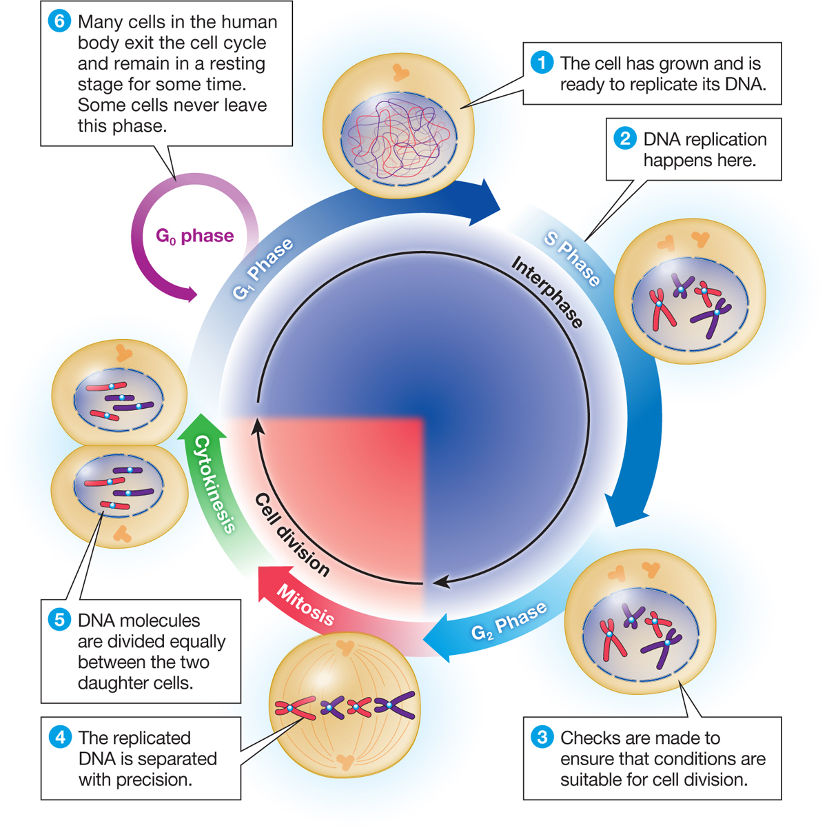 Biology now a diagram titled the cell cycle a diagram depicts the cell cycle ccuart Image collections
