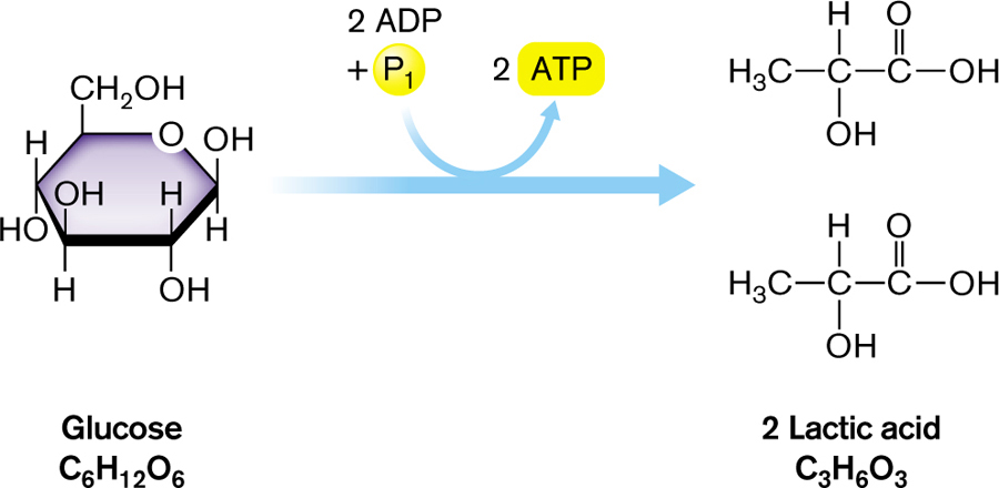 Heterofermentative Lactic Acid Fermentation Svg