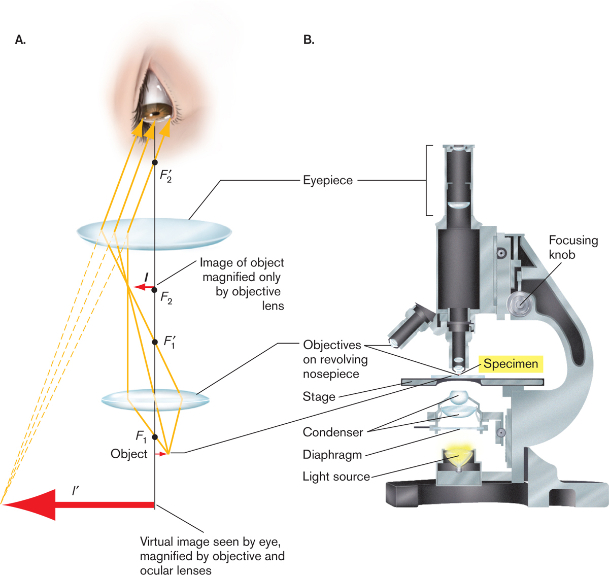 Microbiology 4e figure 215 anatomy of a compound microscope a light path through the microscope b cutaway view ccuart Images