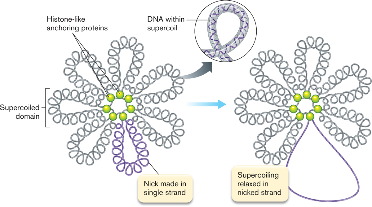 taking a look at dna supercoiling Unique properties of dna gyrase for (+) supercoil processing the twisting of dna in the same or opposite direction of the turn of the double helix gives rise to (+) or (-) supercoiling, respectively supercoiling exerts a strain on the helix, leading to the formation of loops, knots, and tangles that can have a major impact on the ability of.