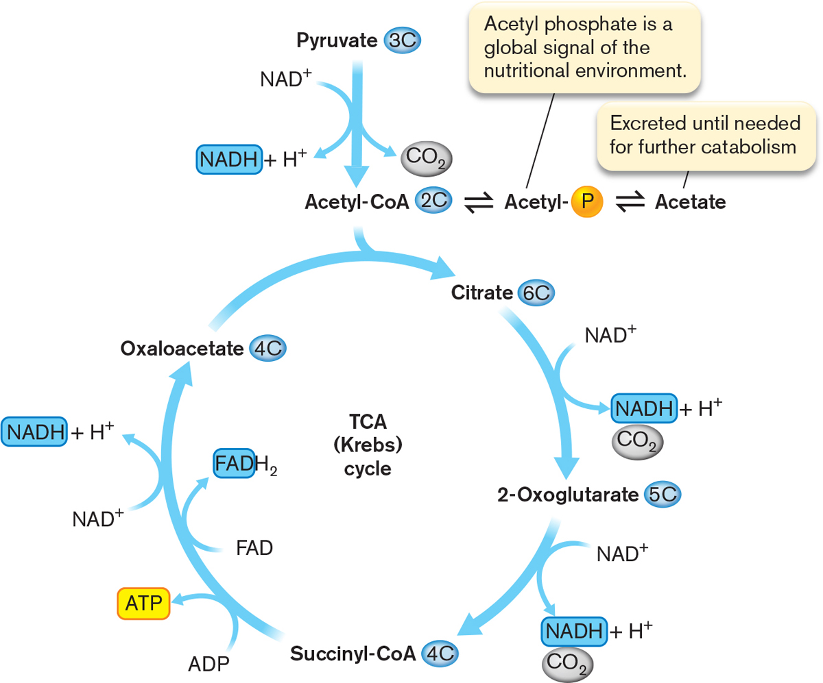 Microbiology 4e tricarboxylic acid tca cycle also called krebs cycle a metabolic cycle that catabolizes the acetyl group from acetyl coa to 2co2 with the concomitant pooptronica Image collections