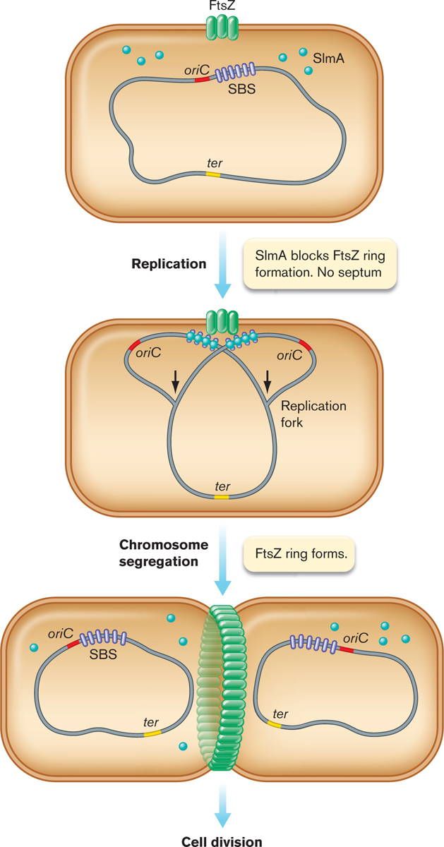 Microbiology 4e primase an rna polymerase that synthesizes short rna primers complementary to a dna template to launch dna replication exonuclease an enzyme that cleaves pronofoot35fo Choice Image